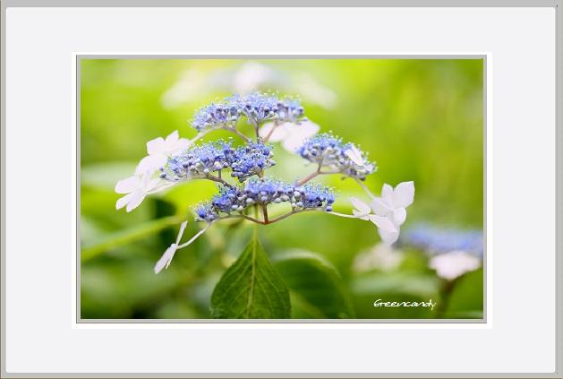 紫陽花ー2.jpg