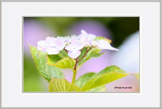 紫陽花ー11.jpg