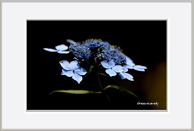紫陽花ー8.jpg