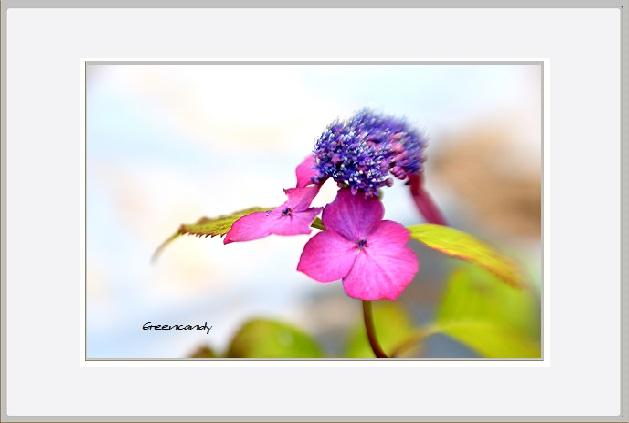 紫陽花ー9.jpg