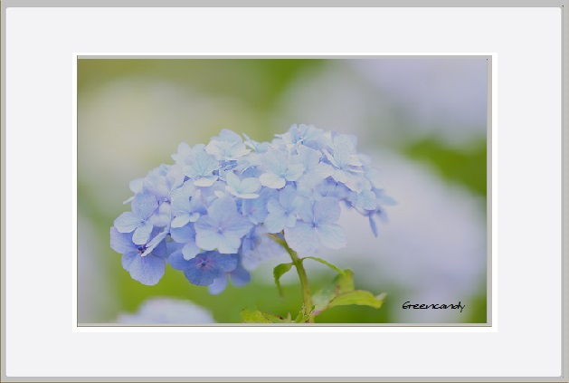 紫陽花ー20.jpg