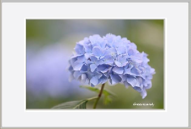 紫陽花ー18.jpg