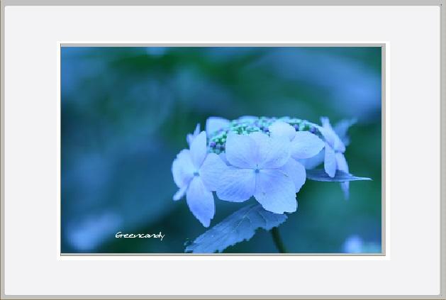 紫陽花ー19.jpg