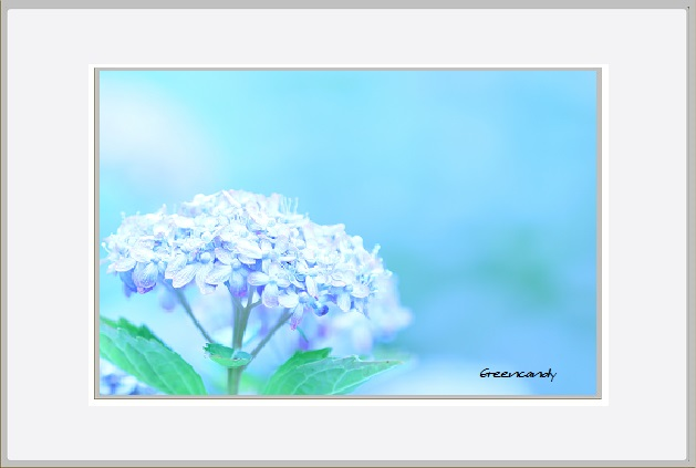 紫陽花ー22.jpg