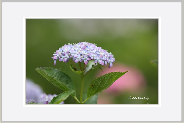 紫陽花ー24.jpg