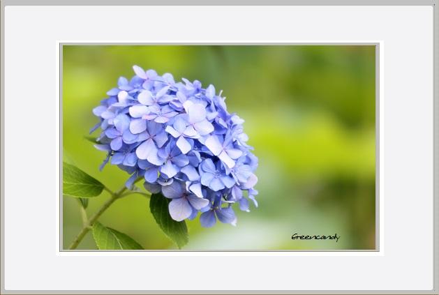 紫陽花ー4.jpg