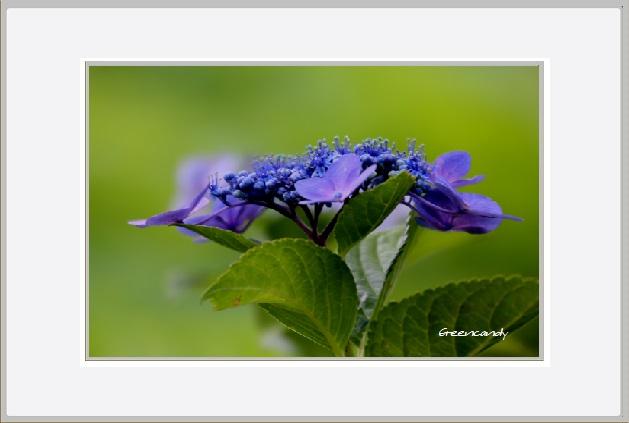 紫陽花ー5.jpg