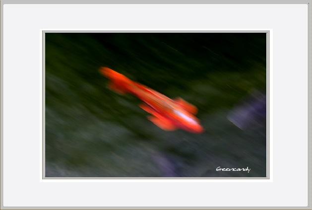 鯉ー2.jpg