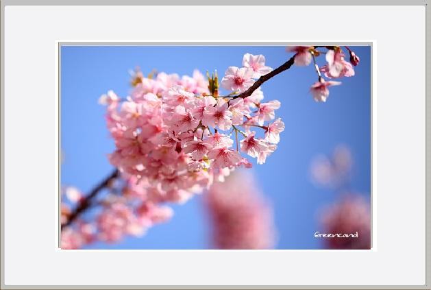 桜ー2.jpg
