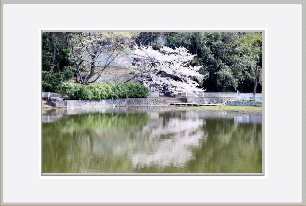 桜ー4.jpg