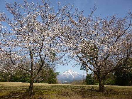 ソメイヨシノと大山