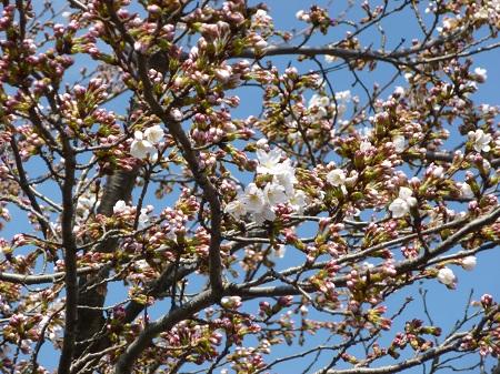 わごんの桜