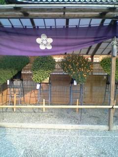 菊まつり(亀戸天神)2