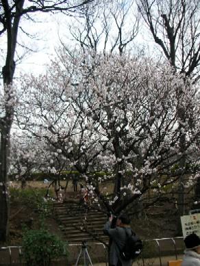 羽根木公園の梅1