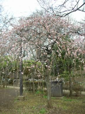羽根木公園の梅2