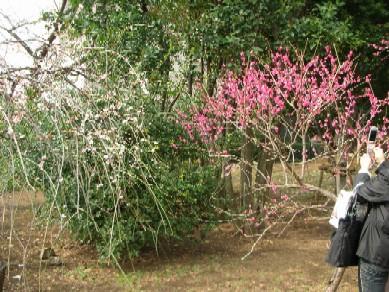 羽根木公園の梅3