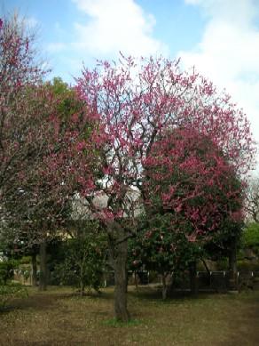 羽根木公園の梅4