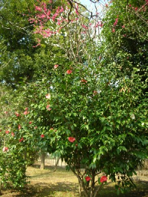 羽根木公園の椿