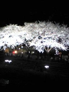 2007年調布野川の桜ライトアップ1