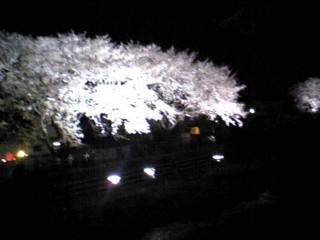 2007年調布野川の桜ライトアップ2