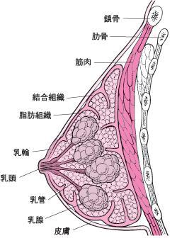 乳房の構造