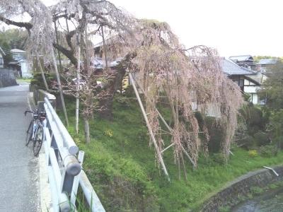 和泉市若樫町の「百滝桜(ももたきざくら)」