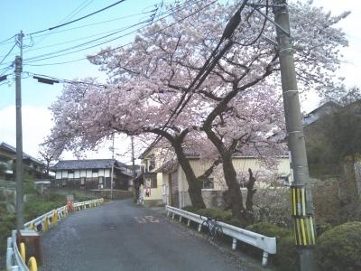 百滝桜より少し岸和田寄りの桜