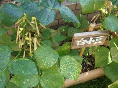 白小豆 (2).JPG