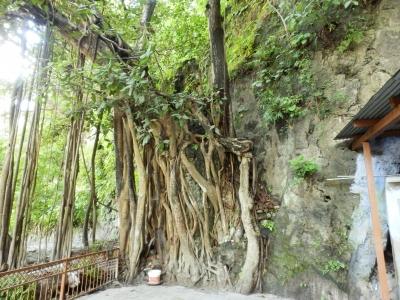 ガンジス河沿いにある聖者ヴァシシュタの洞窟入り口にあった菩提樹。