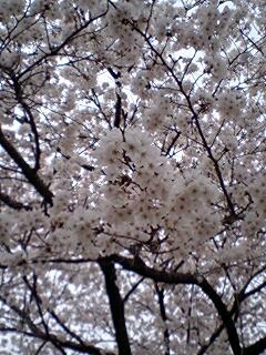 花曇りの桜