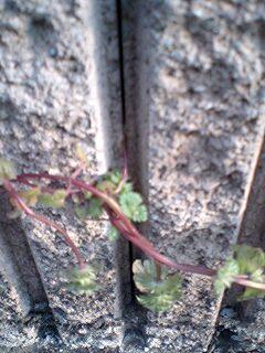 コンクリートのすきまから植物