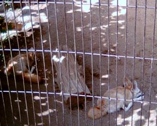 井の頭自然文化園のフェネック1