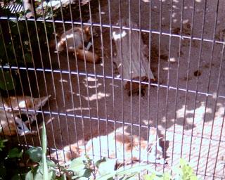 井の頭自然文化園のフェネック2