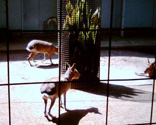 井の頭自然文化園のマーラさん