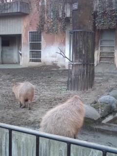 上野動物園カピバラ夫婦