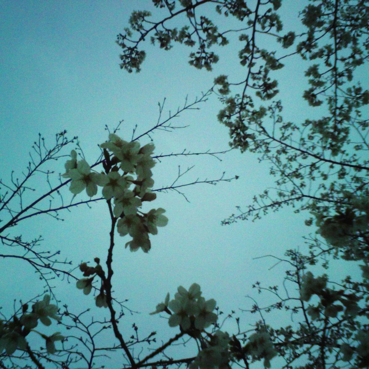 航空公園・桜