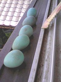 巣作りをしてほしいけど、雨戸が使えなくなるのは困る。 今年こそは、庭に巣箱を取り付けるので、そこで子育てしてほしいものだ。