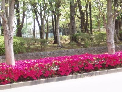 山桜とつつじ