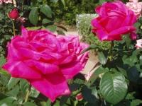 5月は薔薇だ