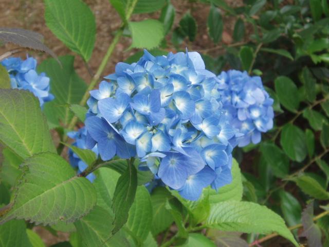 6月紫陽花