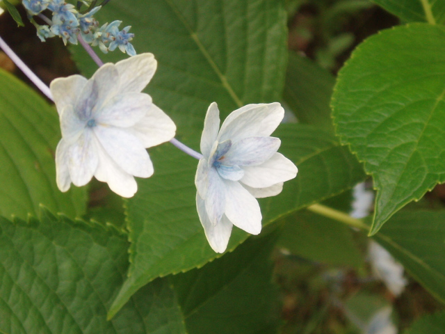 初夏の白い花