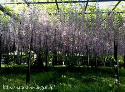 平等院の藤の花