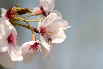 満開を過ぎた桜