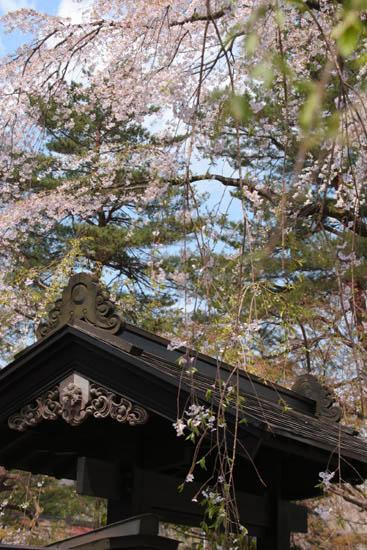 黒塀に映える枝垂桜