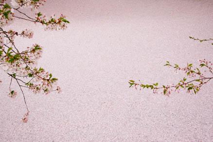 一面に埋め尽くされた桜の花びら