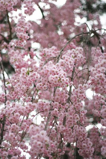 桜の和菓子?