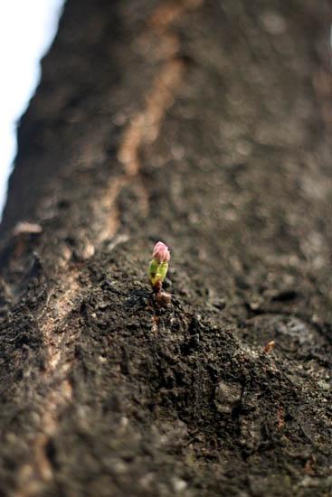 桜の赤ちゃん