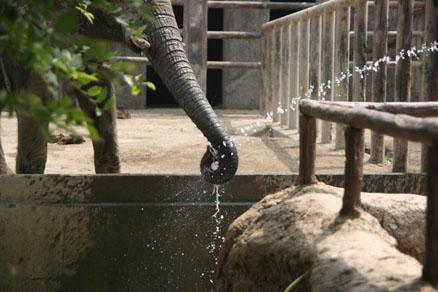 ゾウの水飲み その2