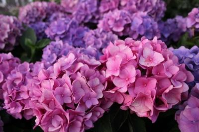 hydrangea-flowers-4256226__480[1].jpg