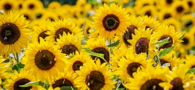 sunflower-3792914__480[1].jpg